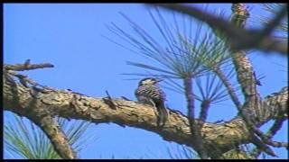 LDWF - Red-Cockaded Woodpecker Safe Harbor Program