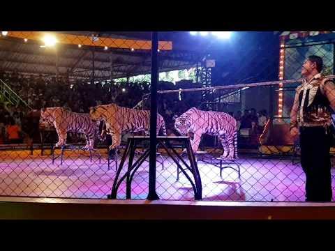 Amazing Tiger show at sriracha tiger zoo, pattaya, thailand