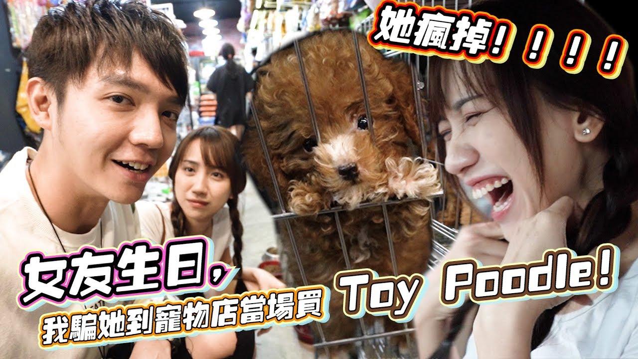 女友生日,我骗她到宠物店当场买Toy Poodle,Gladish疯掉!2018第一次见Potato的珍贵画面~