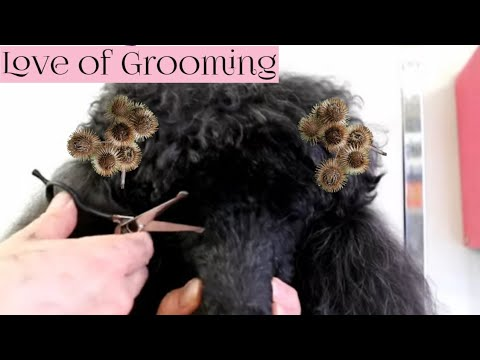 How to remove burrs, trim around eyes and brush your dog during quaratine from covid 19