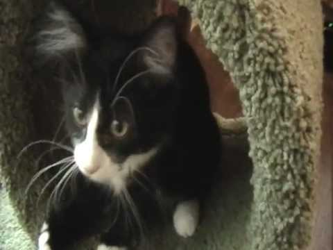 Pet kitten Rocky playing &  getting fired up ~ crazy cute funny cat ~