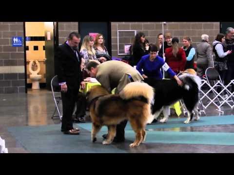 Best of Breed, Tibetan Mastiff, Western WA Cluster Dog Show, 1-11-15