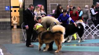 Best Of Breed, Tibetan Mastiff, Western Wa Cluster Dog Show, 1-11-15