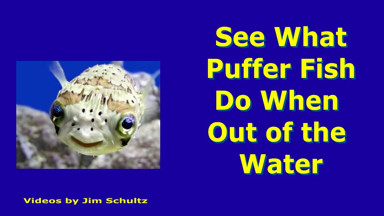 What puffer fish blowfish fugu do out of water youtube for What is a puffer fish