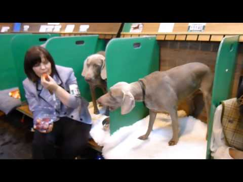 Weimaraner and Strawberries - Crufts 2013