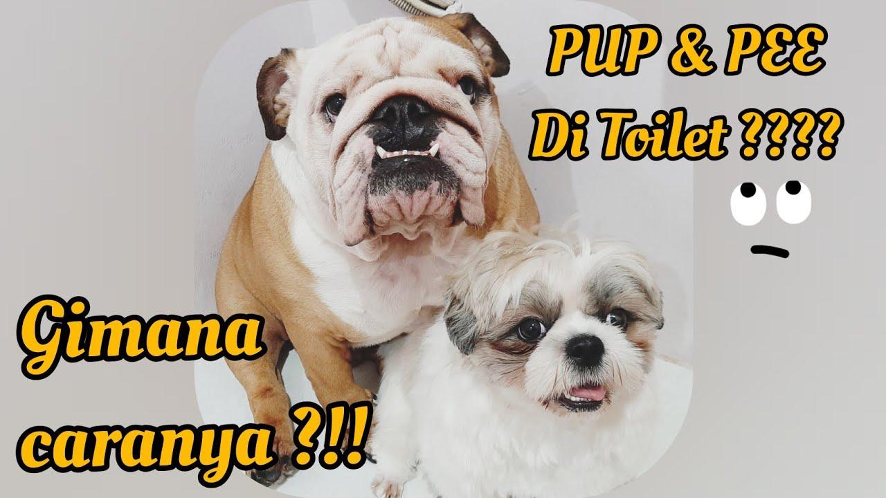 Cara Melatih Anjing Ke Toilet Dog Toilet Training Youtube