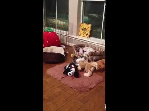 Josie the Chihuahua on Sensory Overload!
