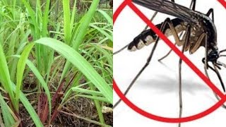 This Simple Plant in Your House and You Will Never See Mosquito