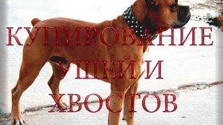 Купирование хвостов и ушей у Алабая Купирование у собак пятый палец на задней лапе у собаки(Оказываю услуги ветеринарного врача в Красноярске, привозите своих питомцев. 89048954846 Полина Александровна...., 2015-07-17T06:37:36.000Z)
