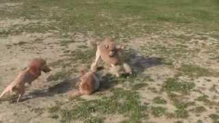 Nokko De Lion  (medium Poodle ' Nokko')