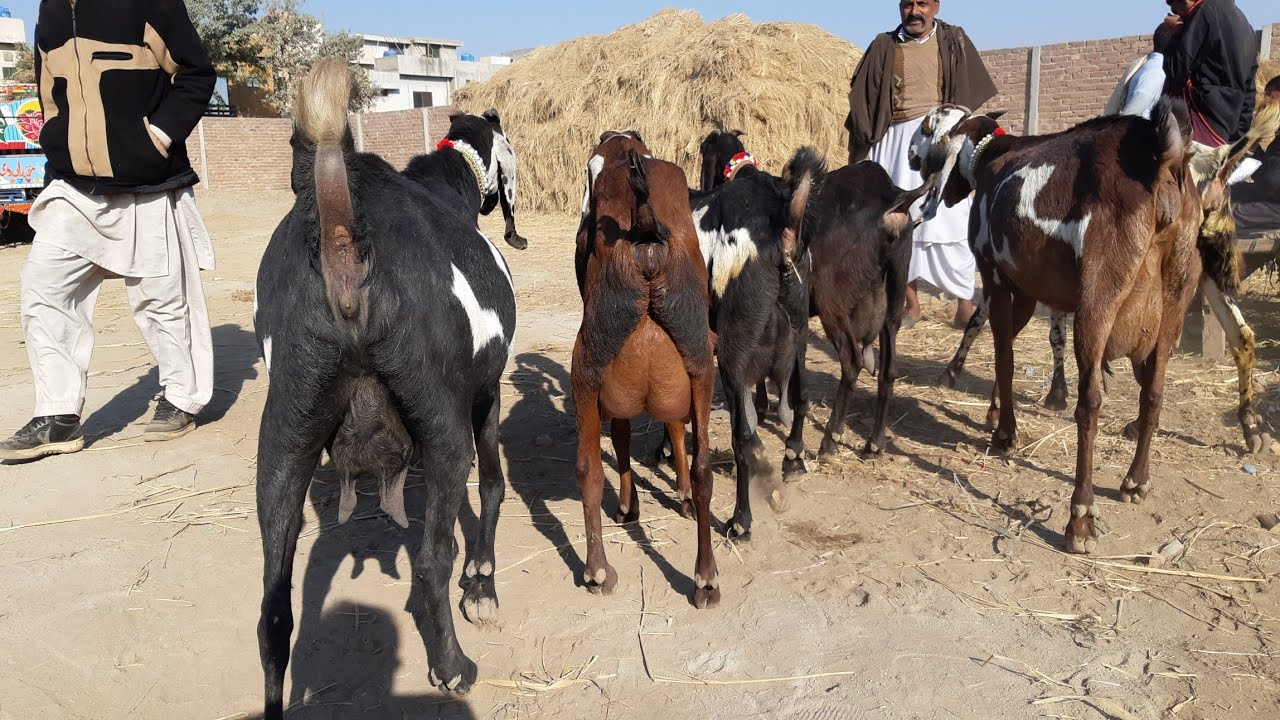 Top Class Pakistani Beetal Goats and Nagri Goats for Sale - BAKRA MANDI  PAKISTAN
