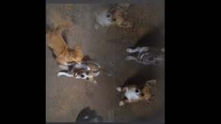 Cute Puppies Playing like Kittens