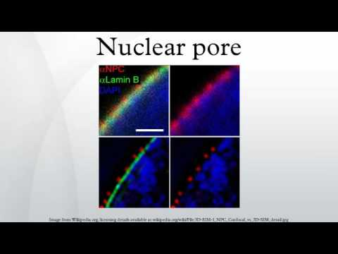 Nuclear pore - YouTube Nuclear Pore