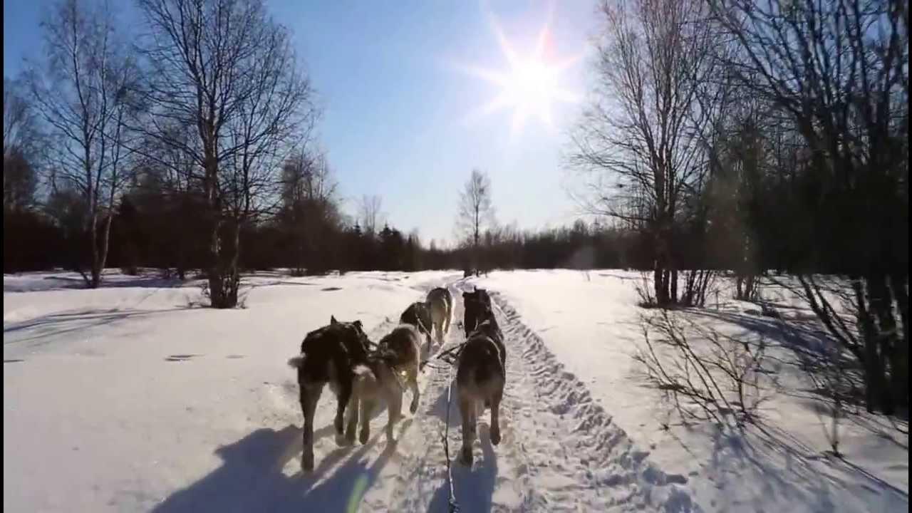 dog sledding video - 1280×720