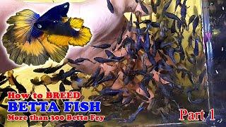 Part 1 - How To: Betta Fish Breeding | More Than 300 Betta Fry (Mustard Gas Rose Tail Halfmoon)