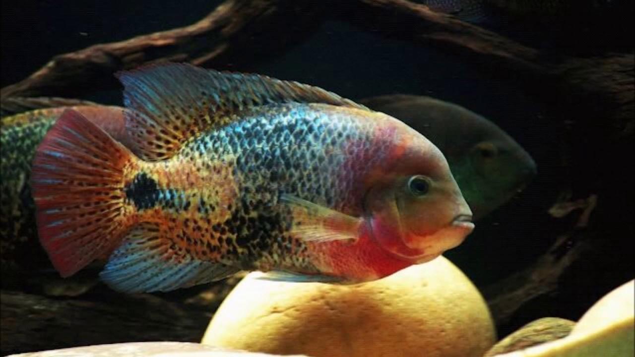 Aquarium cichlid fish for sale at joes aquaworld mumbai for Cichlid fish for sale
