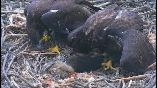 Decorah North Nest Eagle Cam ~ Racoon Delivery; DN4 & DN5 Rush To Claim It 6.16.17 thumbnail