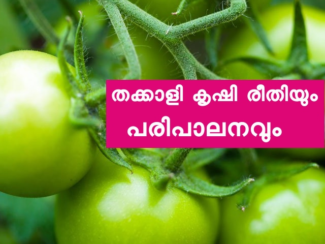 Kerala Tomato Farming Tips