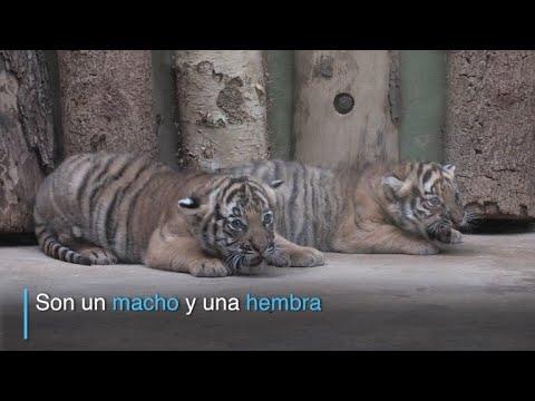 Nacen cachorros de tigre malayo en zoo de Praga