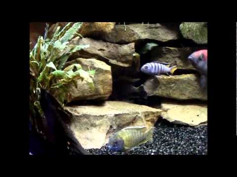 360 liter juwel malawi mix aquarium youtube. Black Bedroom Furniture Sets. Home Design Ideas