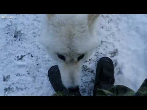 An Arctic Wolf  Is Acting Friendly In Canada
