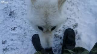 寒いけどいっしょに遊ばない?白くて人懐っこいホッキョクオオカミが遊びに来たよ
