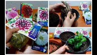 Download Video How to Grow Dahlias in а Pot MP3 3GP MP4