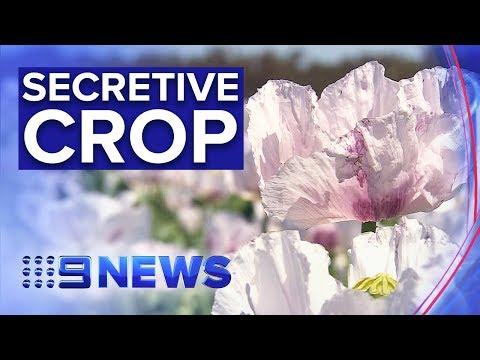 Inside Australia's Hidden Opium Poppy Production | Nine News Australia