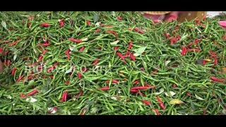Chilli farm or Mirchi Farm in Maharashtra