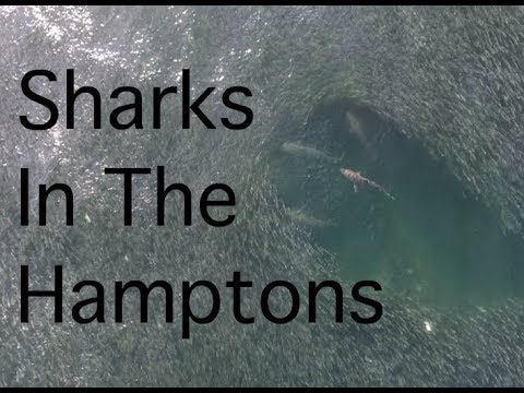 Sharks In the Hamptons | Drone Footage