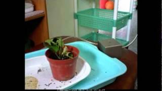 教室裡的無尾鳳蝶從毛毛蟲開始,進食、化蛹、羽化,都有一連串的紀錄,...