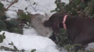 Finn Fetching Duck (poodlepointer)