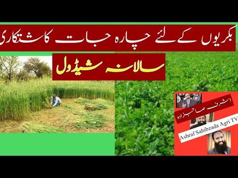 GOATS CHAARA (FODDER) KASHT SAALANA SCHEDULE DR.ASHRAF SAHIBZADA.wmv