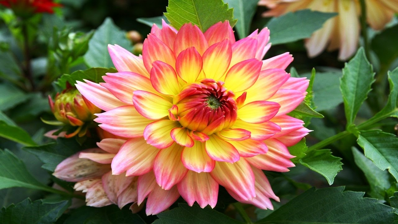 Top 10 colorful dahlia flower ever you seen amazing flowers video top 10 colorful dahlia flower ever you seen amazing flowers videohd izmirmasajfo Image collections