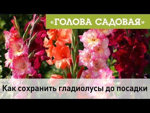 Голова садовая - Как сохранить гладиолусы до посадки