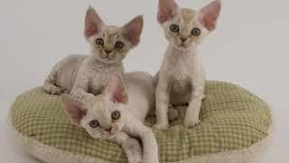 Devon Rex  Cat Breed  Pet Friend