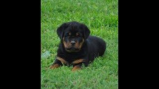 Rottweiler puppies during first 8 weeks Ryandogs