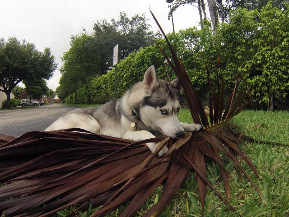 What Drives Gohan Crazy.. (Husky And Palm Tree Branches)
