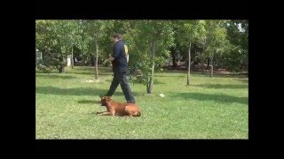 K9 Training, Miami Dog Trainers, K9 Enforcement Basic Obedience