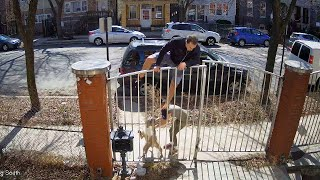 Runner Scales Fence When Pit Bull Attacks