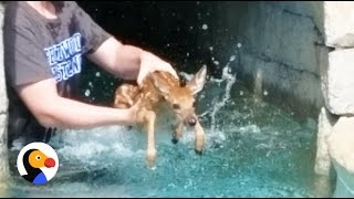 Baby Deer Crying Rescued TWICE from Pool | The Dodo