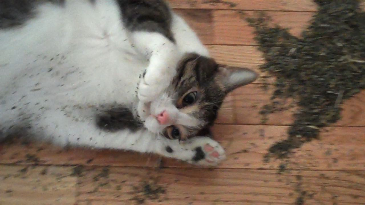 Cat High On Catnip Video Simon