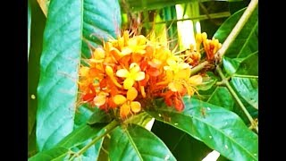 very big ixora plant