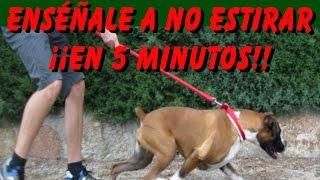 Adiestramiento Canino Enséñale a No Tirar de la Correa en 5 Minutos