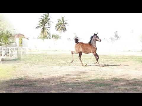ARABIAN HORSE الخيول العربية #equestrian #horses #horseshow #beautiful  #saudiarabia #jeddah جدة# خي