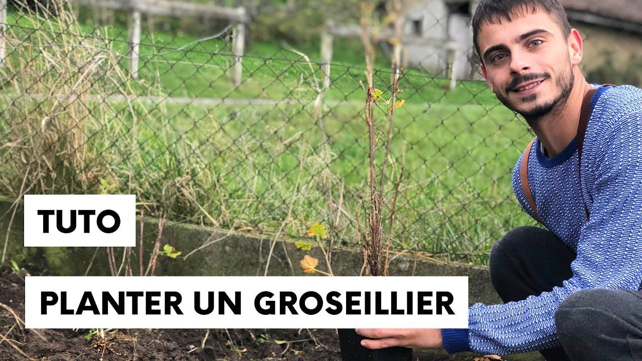 Comment planter un groseillier ou un cassissier dans son jardin - YouTube