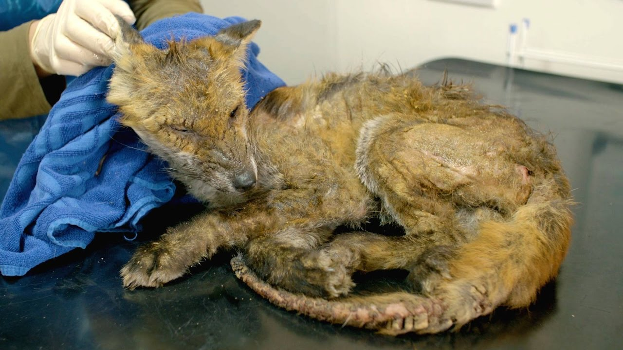 fox mange what is it and how can you help sarcoptic mange youtube