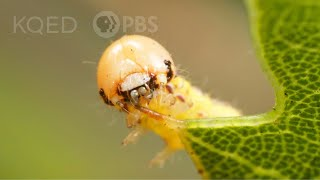 These Silk-Swinging Caterpillars Will Ruin Your Picnic | Deep Look