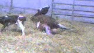 Cow calving twin