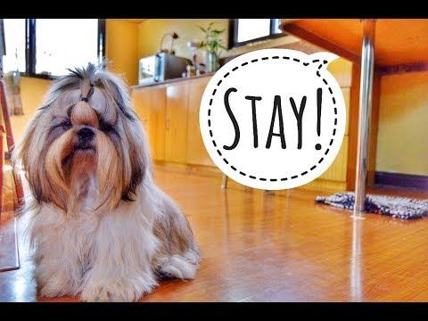 Puppyhood: Shih Tzu Puppy  [FUDGEE] Learns to STAY [ DOG TRICKS]